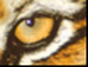 Tigerøye Adobe